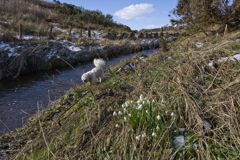 Snowdrops growing wild on the banks of the Water of Cruden