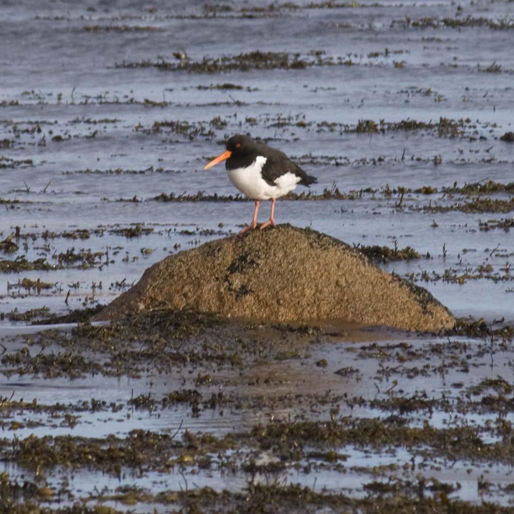 Oystercatcher, Peterhead Bay