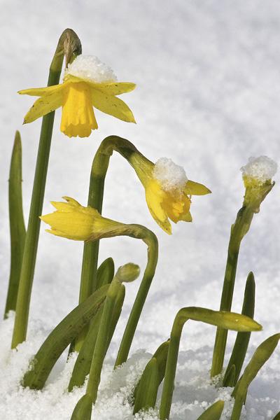 Dwarf daffodils, hatton