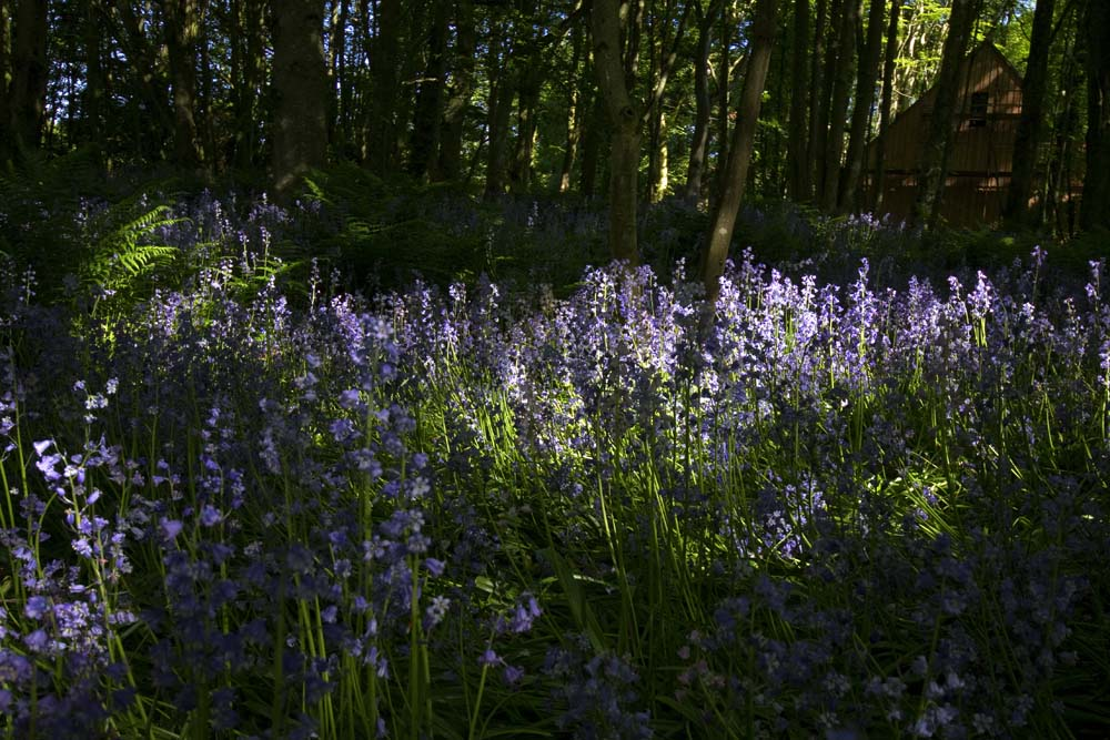 Bluebells in the woods beside Auquharney House