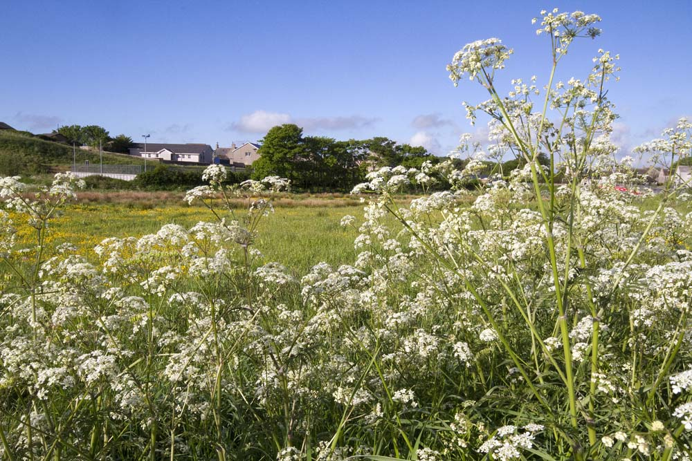 Cow Parsley beside the Sewage Works Road
