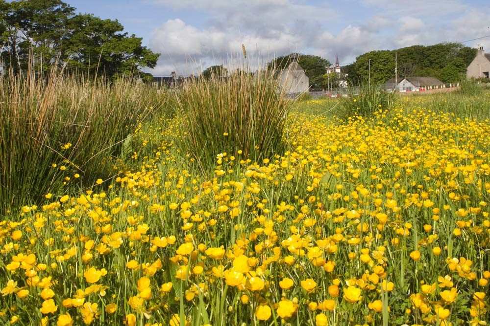 Buttercups adorn the field beside the temporary bridge.