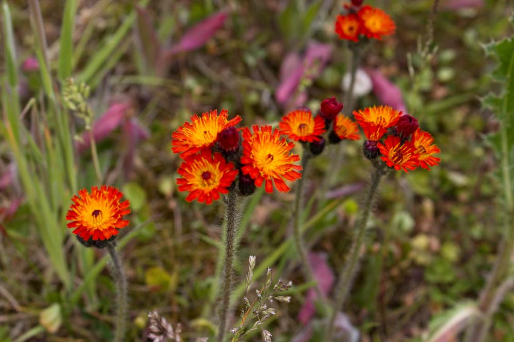 Orange Hawkweed in Rowan Terrace