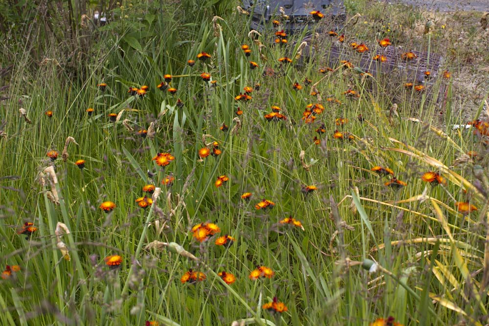 Orange Hawkweed outside Mill Cottages