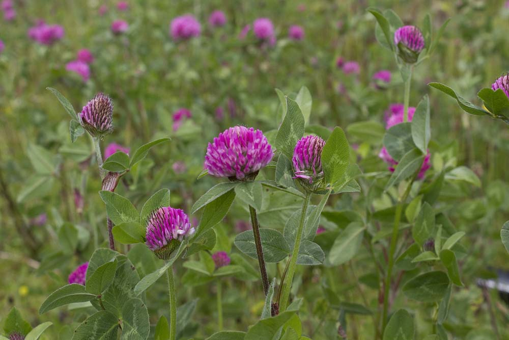 Red clover is a favourite with bumble bees, so I am told.