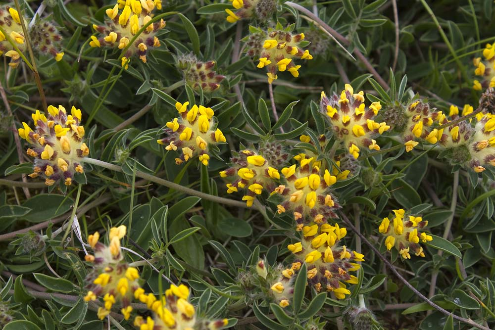 Kidney Vetch besie the all weather pitches