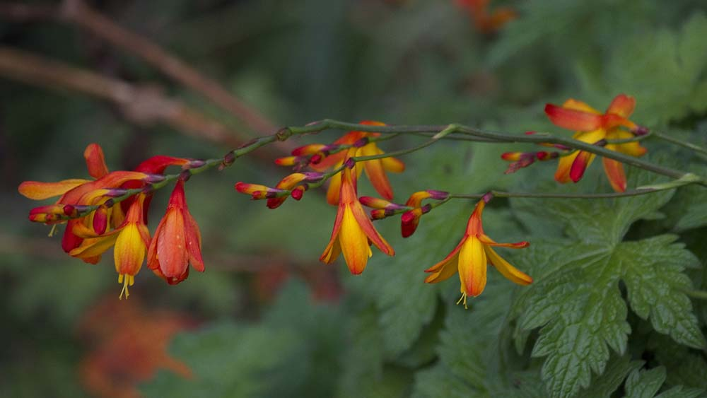 Crocosmia growing among the geranimums on the banks of the burn.  A perfect cikyr watch for the chestnut tree.