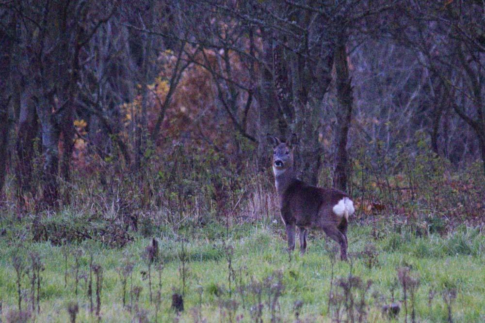 Roe deer, Auchlethen