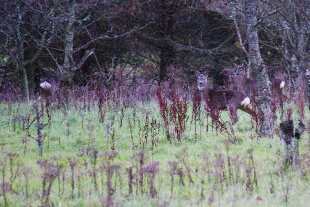 Can you spot four roe deer?