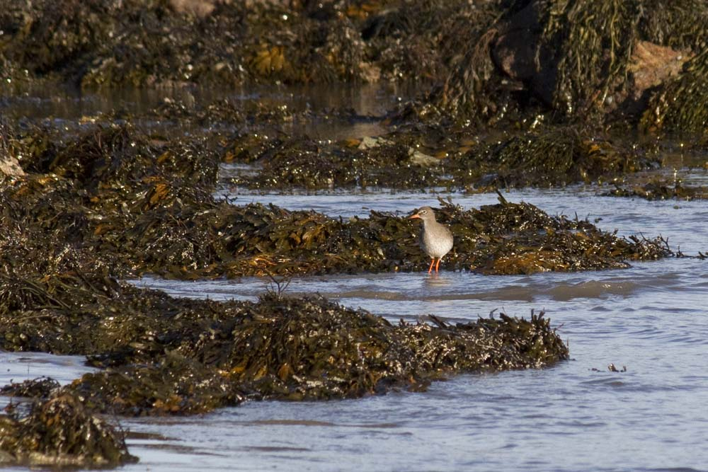 Redshank on Borthwen beach, Rhoscolyn
