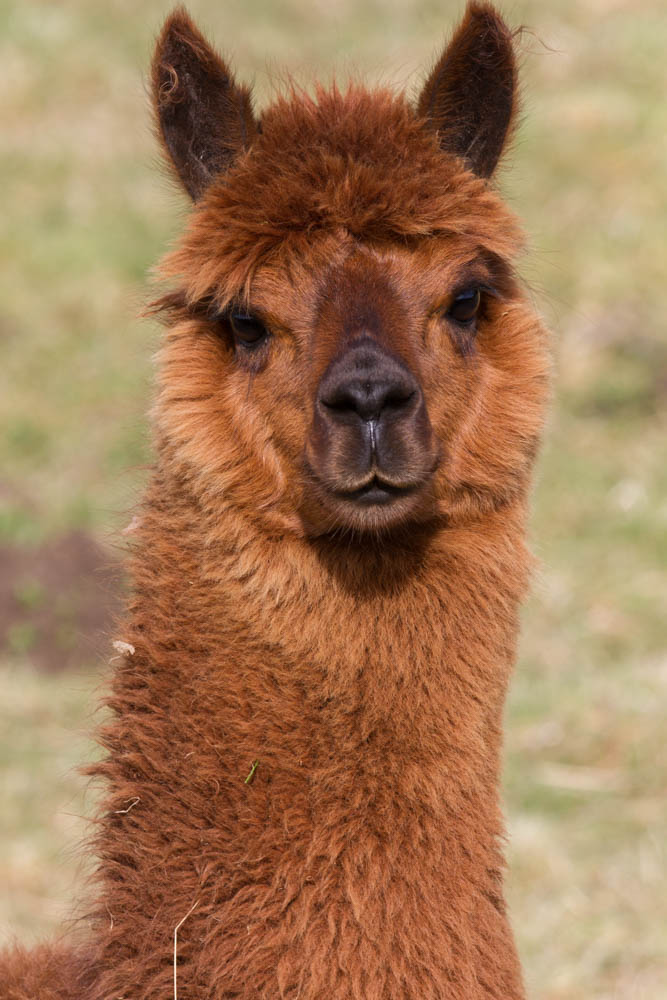 Alpaca, near Cuminestown