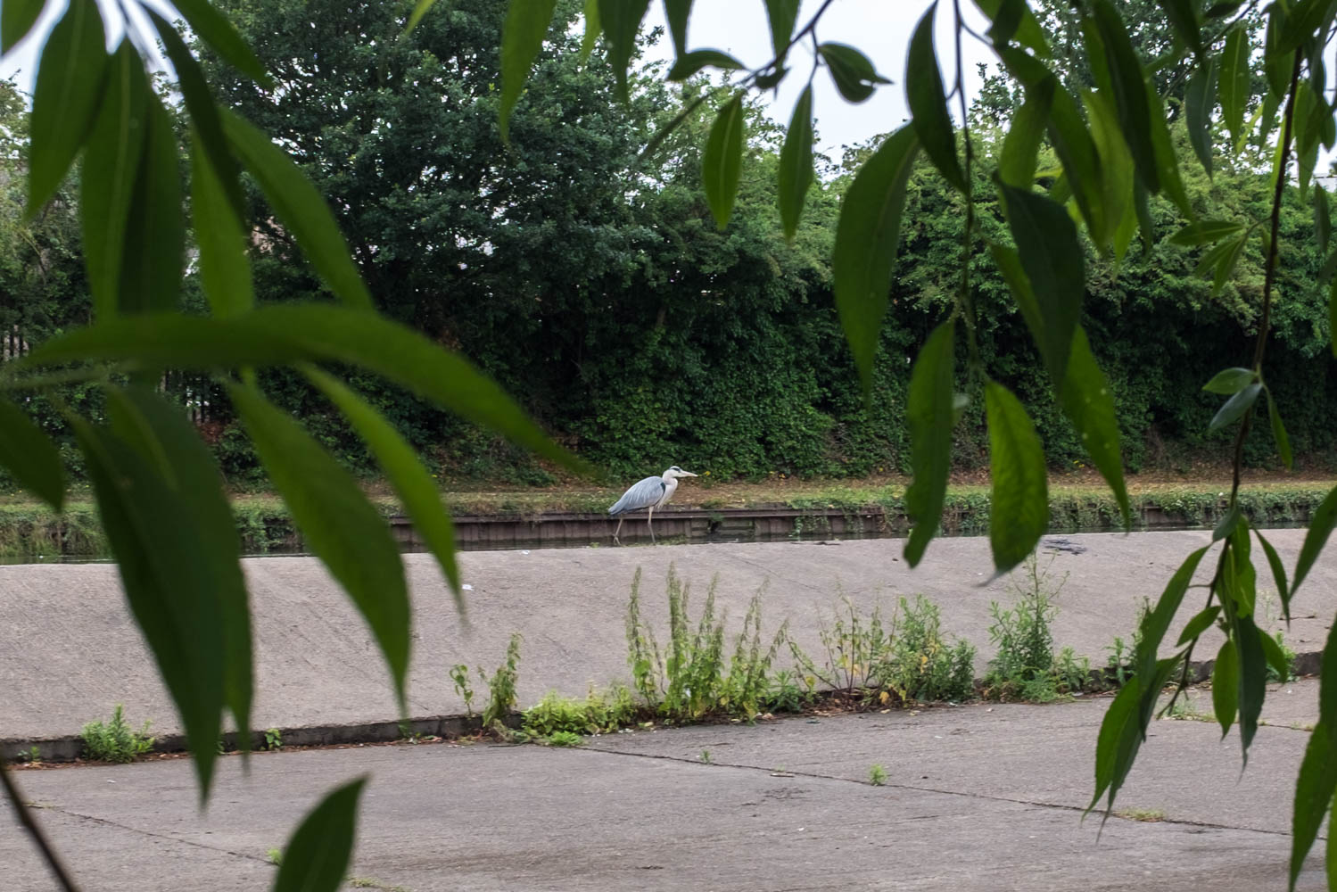 A Heron near a wear on the River Brent in West London underneath the Motorway!