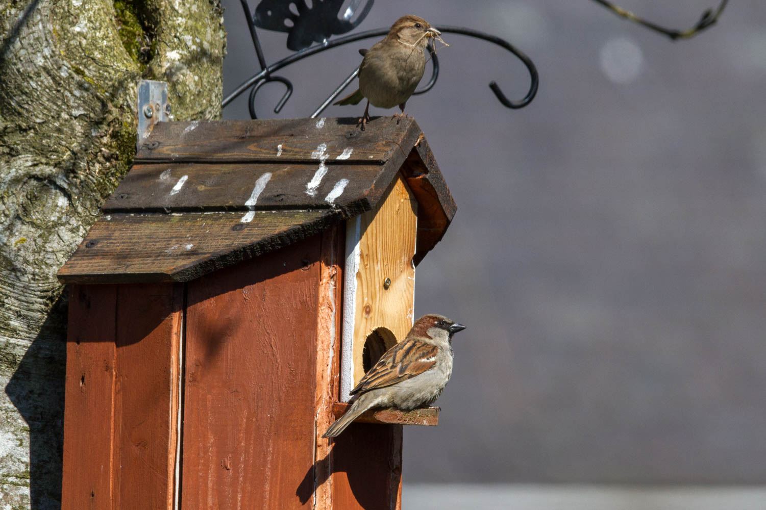 My neighbour has provided a desirable residence for the sparrows