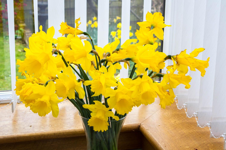 Ecclesiastical daffodils