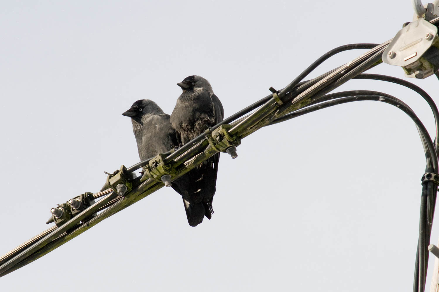 Jackdaws pair off on the overhead electricity wires