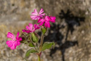 Shadowy Red Campion