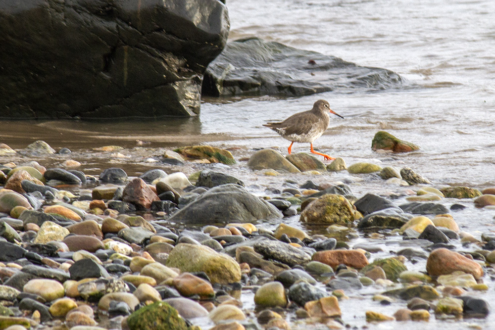Redshank on its morning walk