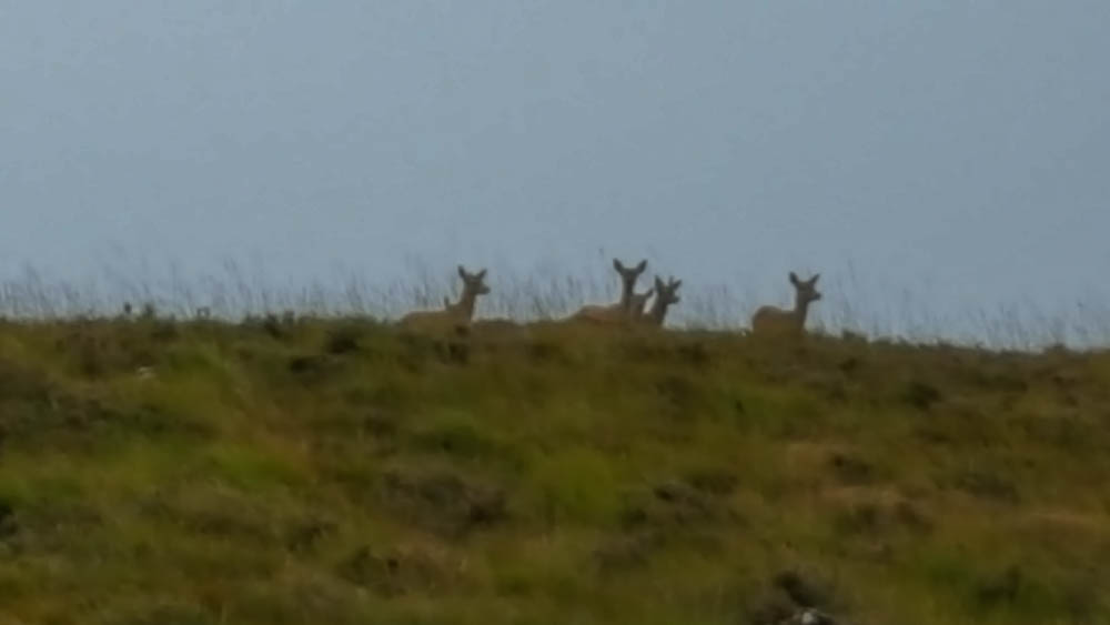 Deer in Strath Naver