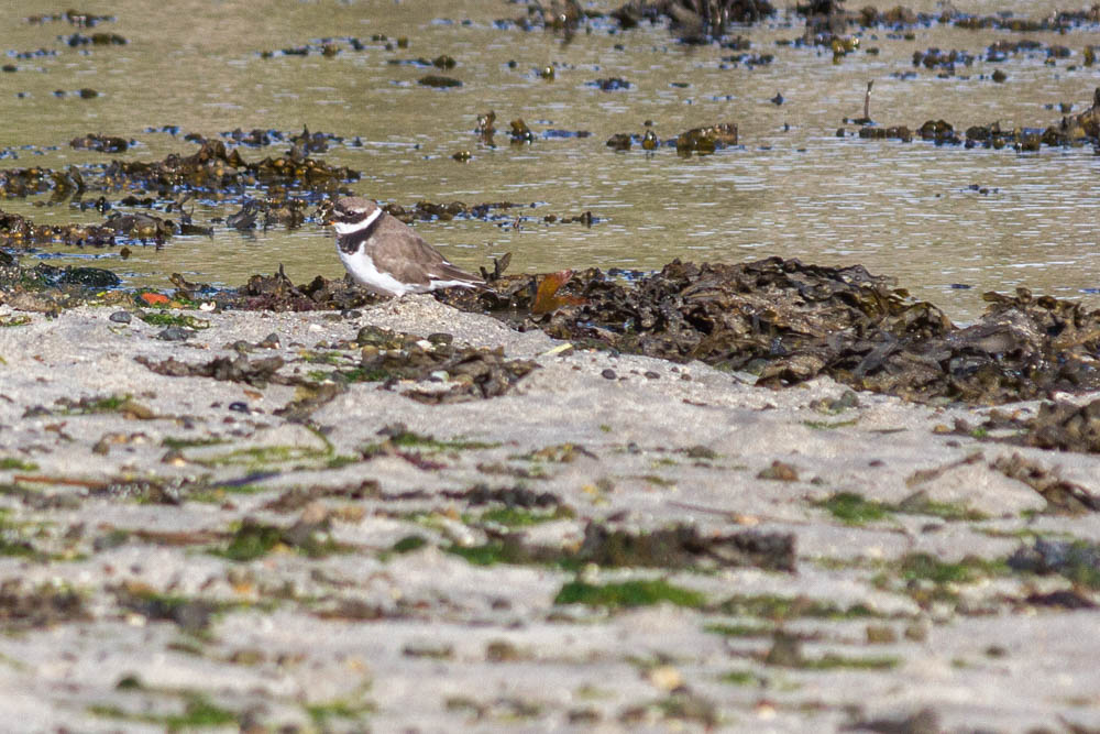 Ringed plover, Scourie